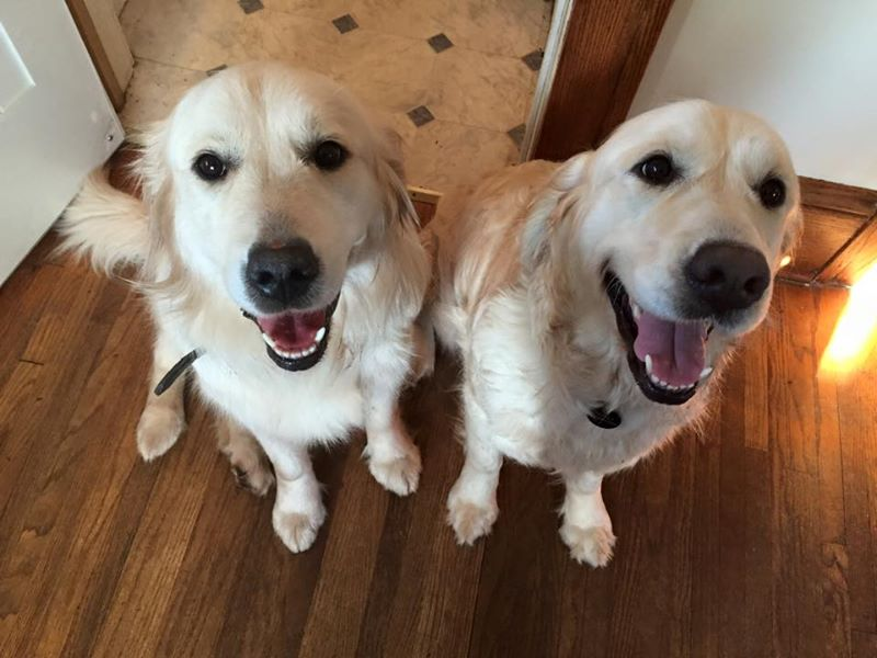 Goldens are a great breed for autism service dogs