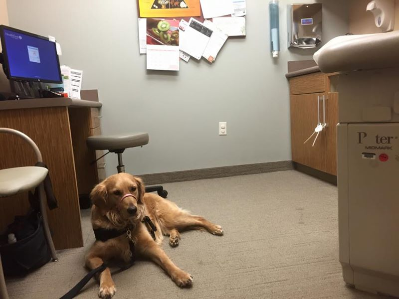 Service dog practicing down-stay at the doctor