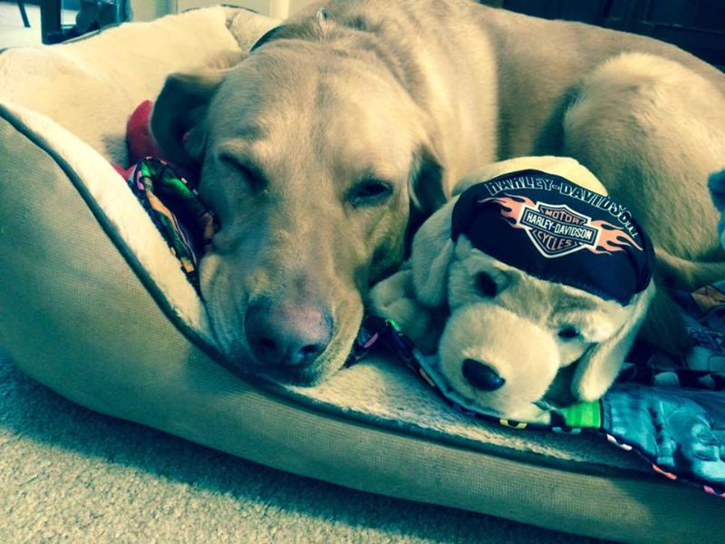 Update on Harley the PTSD service dog