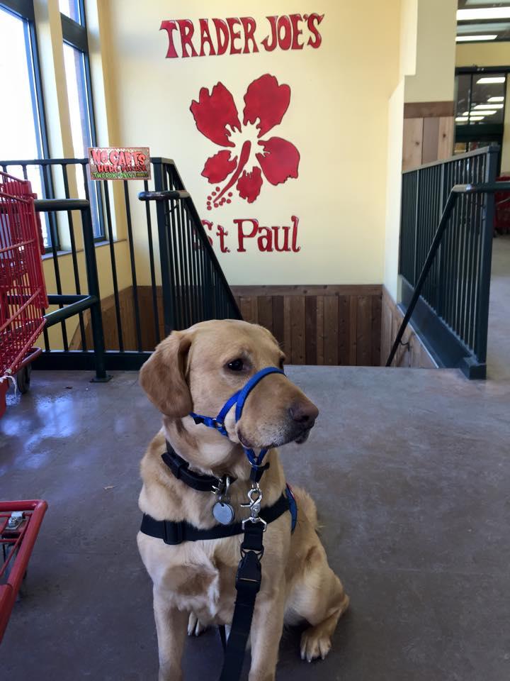 PTSD service dog in training