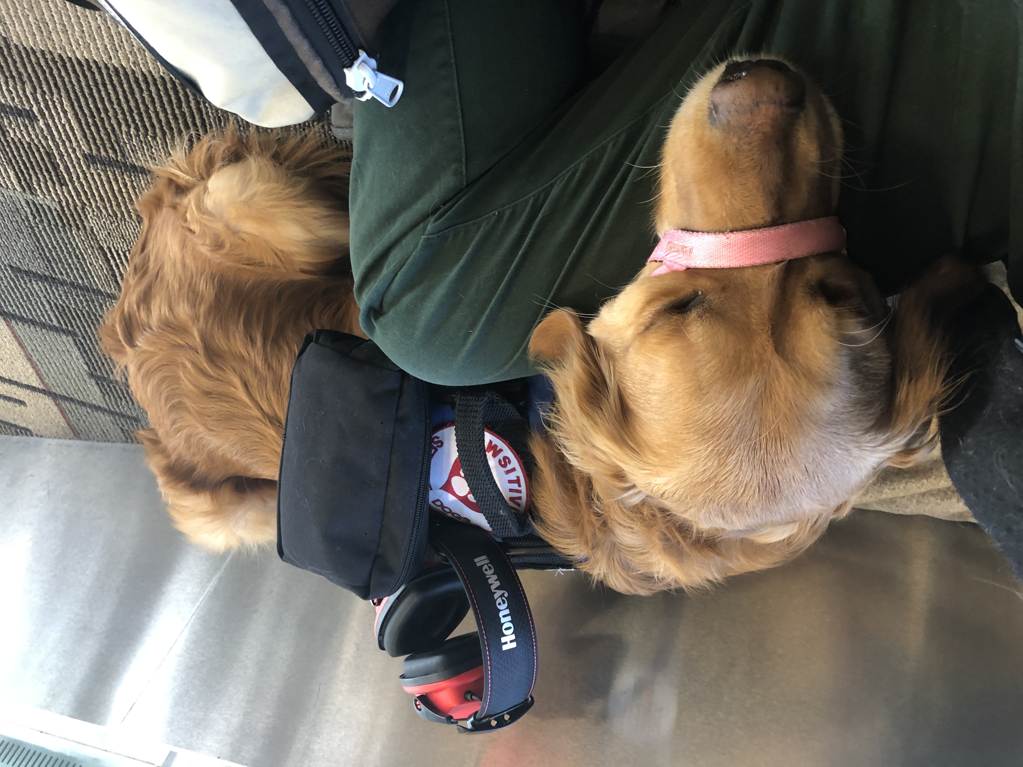 Service dog waiting to go on the plane