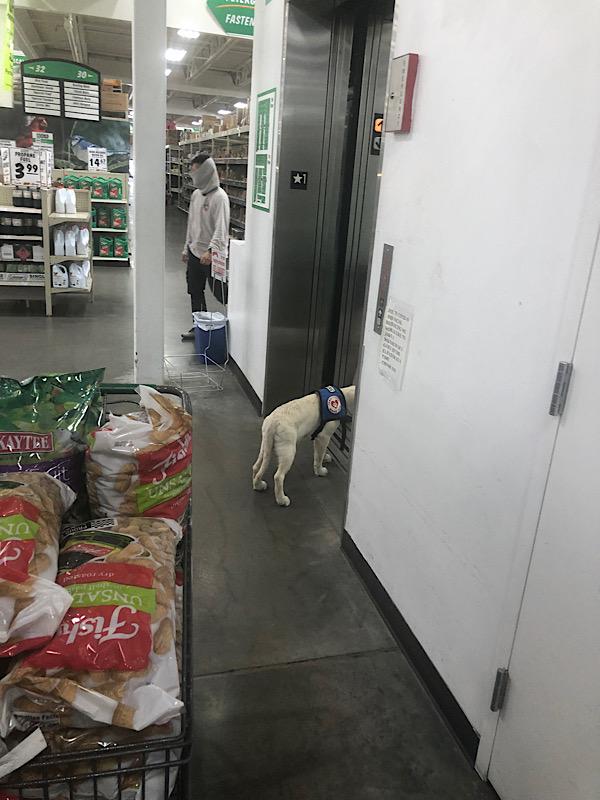 Service dog in training practices elevators