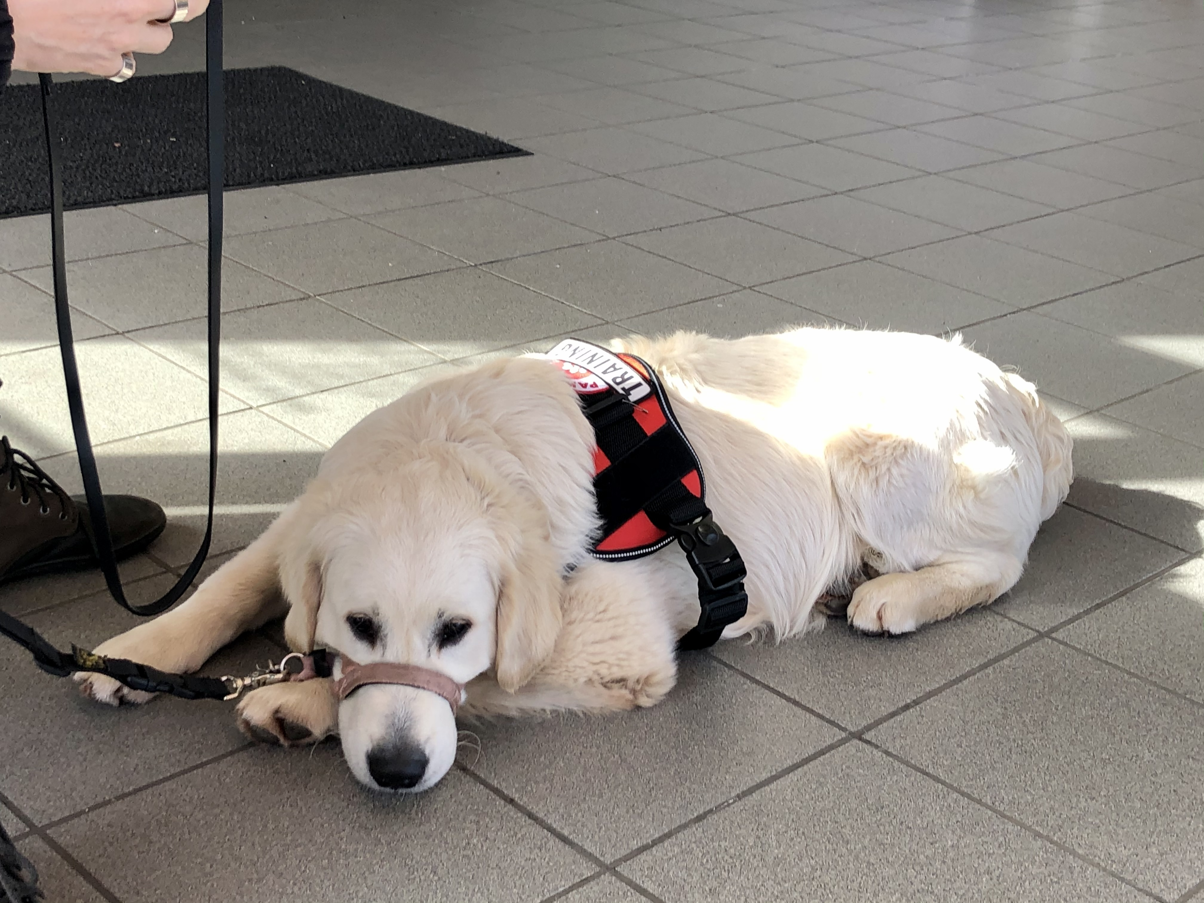 Service dog in training practicing patience during public access