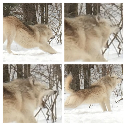 Wolf stretching