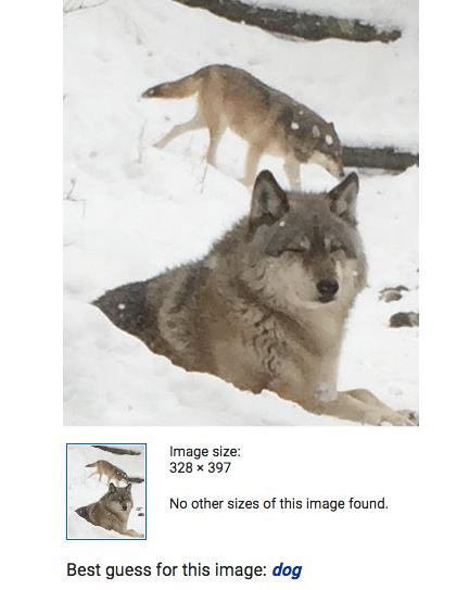 Wolf who looks like a dog.