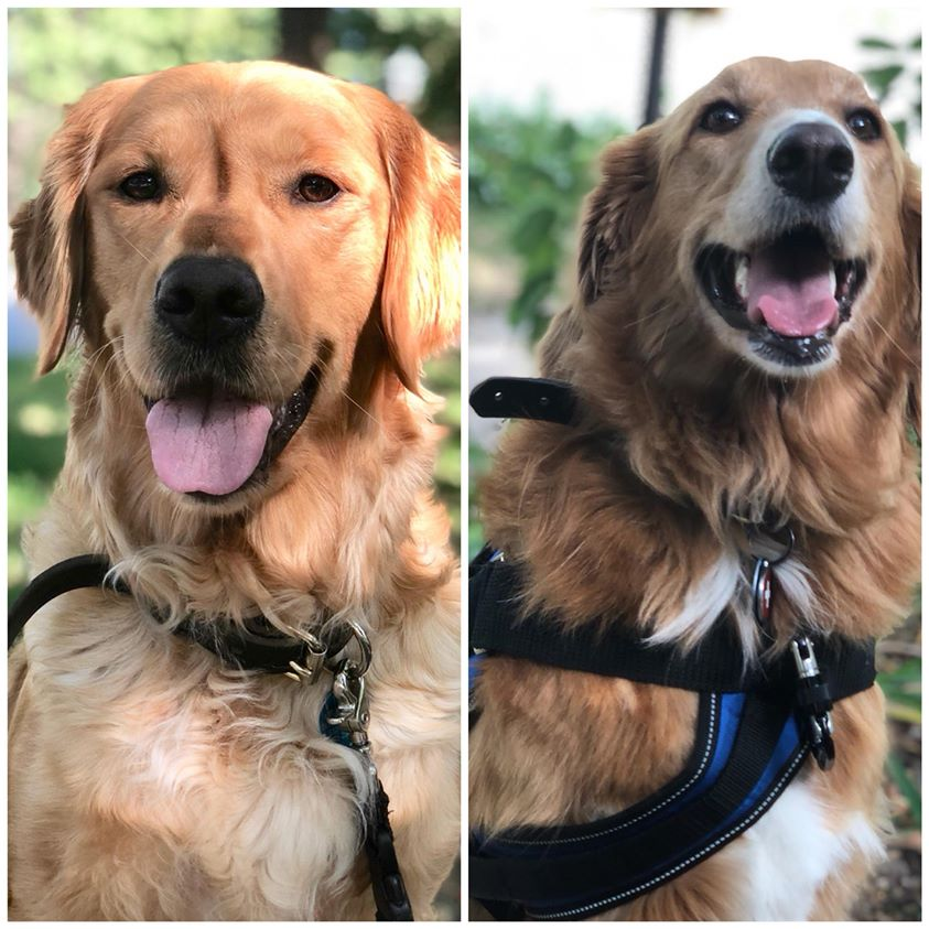 The Golden and the Goldendoodle