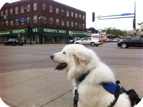 Service dog on the street