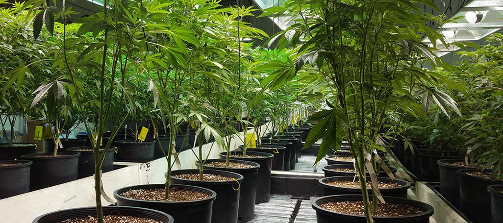 171107_cannabis_Beverly_Yuen_Thompson_1026.jpg