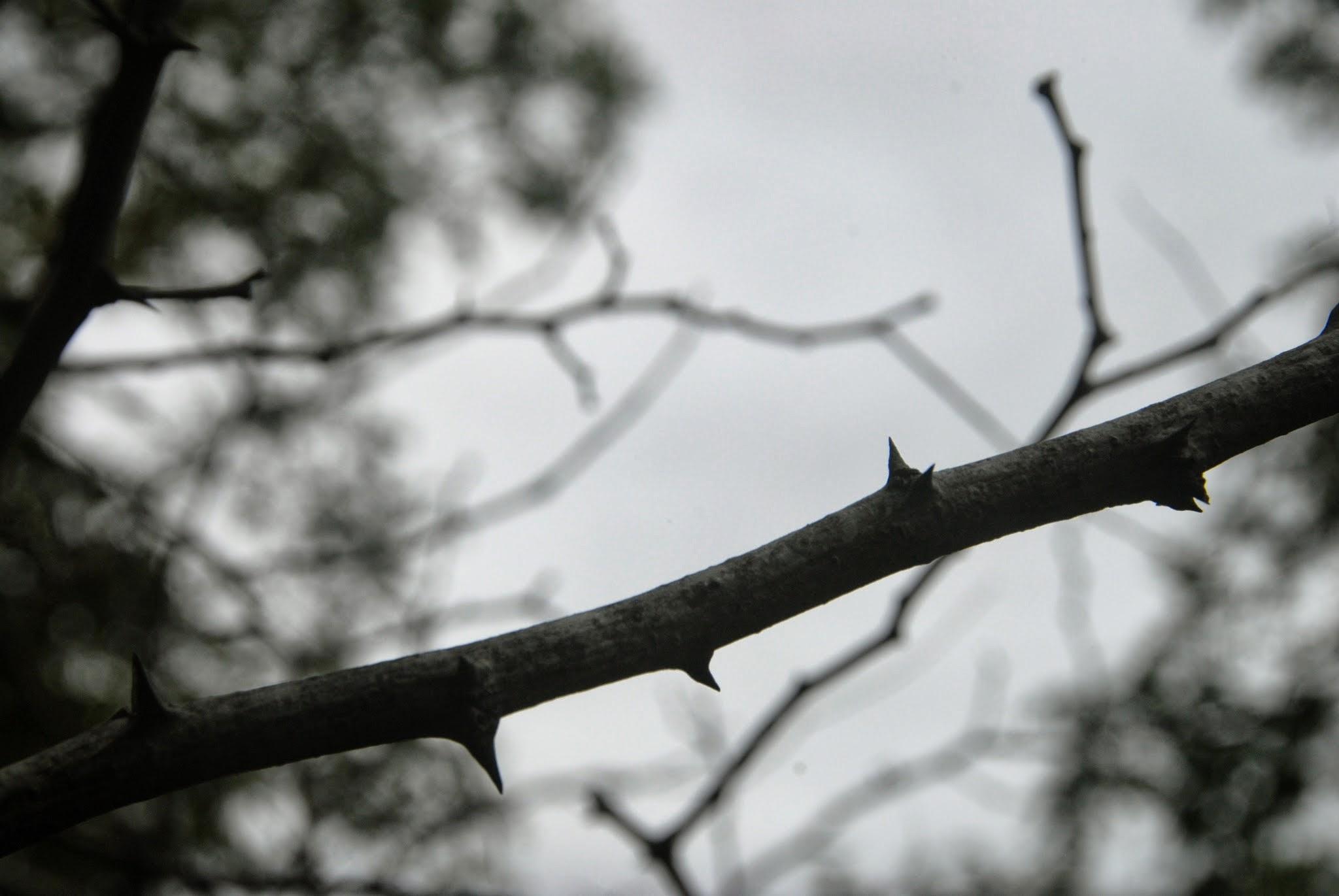 Black Locust Thorns
