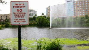 The corporate park pond where $20,000 worth of koi were stolen.