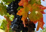 Cellar Vall Llach Grape Cluster