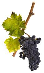 sagrantino grapes on the vine