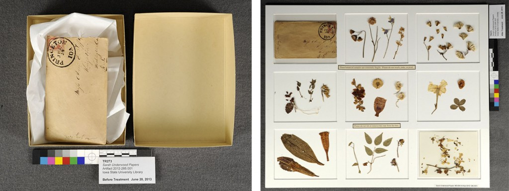 The envelope and botanical samples before (left) and after (right) treatment. The samples were previously tucked inside the envelope and stored in an archival box. Melissa Tedone created a matted housing to display the samples, which are adhered to the acid-free mat board with methyl methylcellulose. Photos courtesy of Melissa Tedone and the Iowa State University Library and Archives.