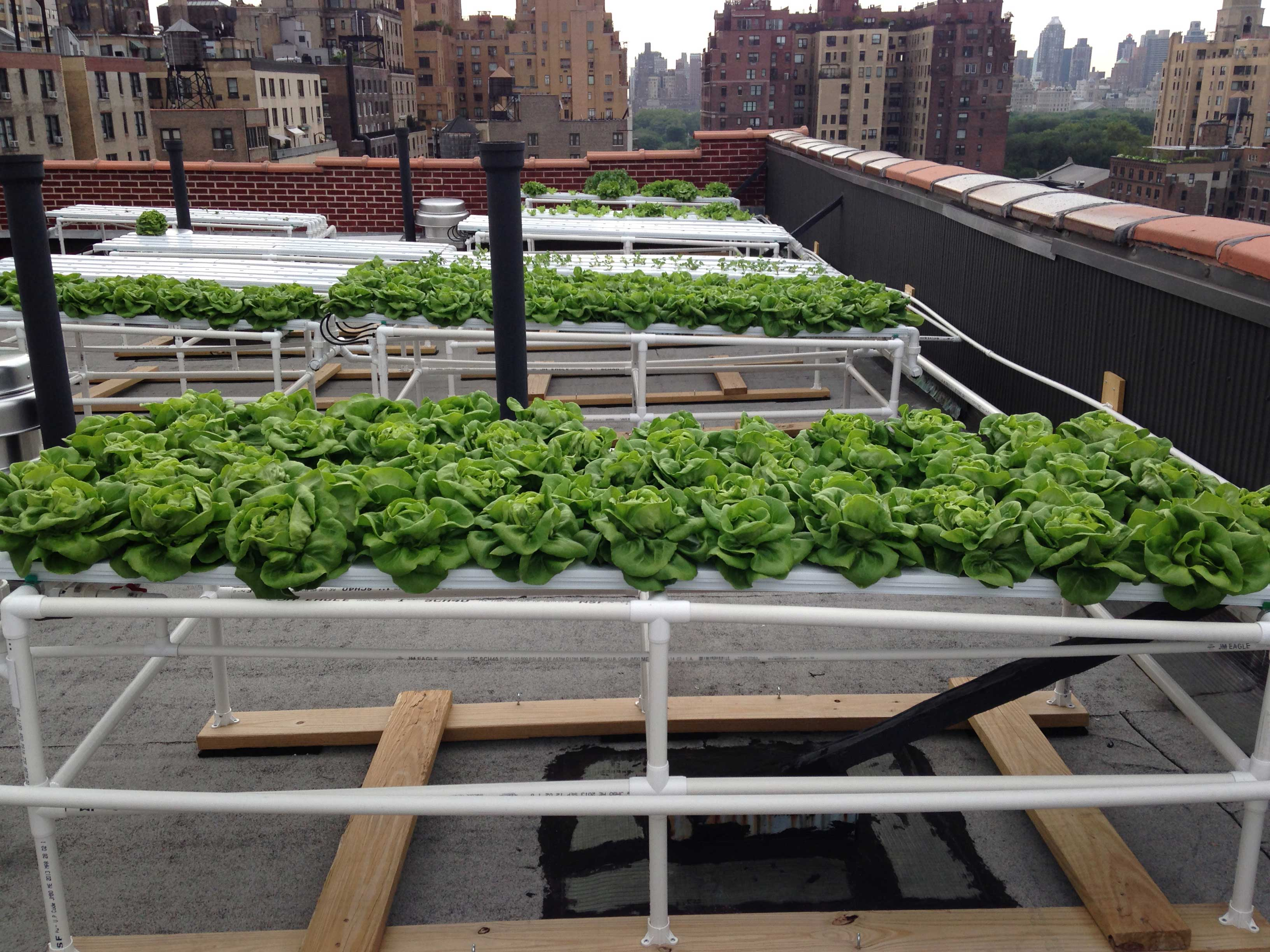 Rooftop-Lettuce-Long.jpg