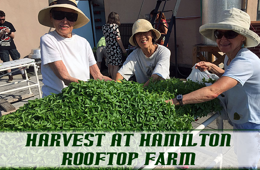 Hamilton-RooftopHArvest.jpg