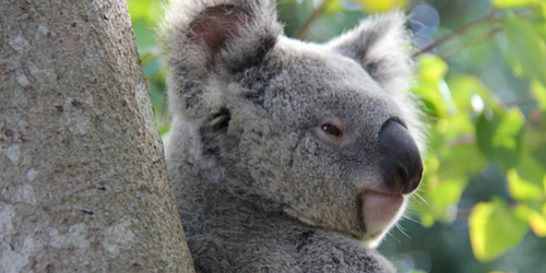 Donate to help protect SEQ koalas