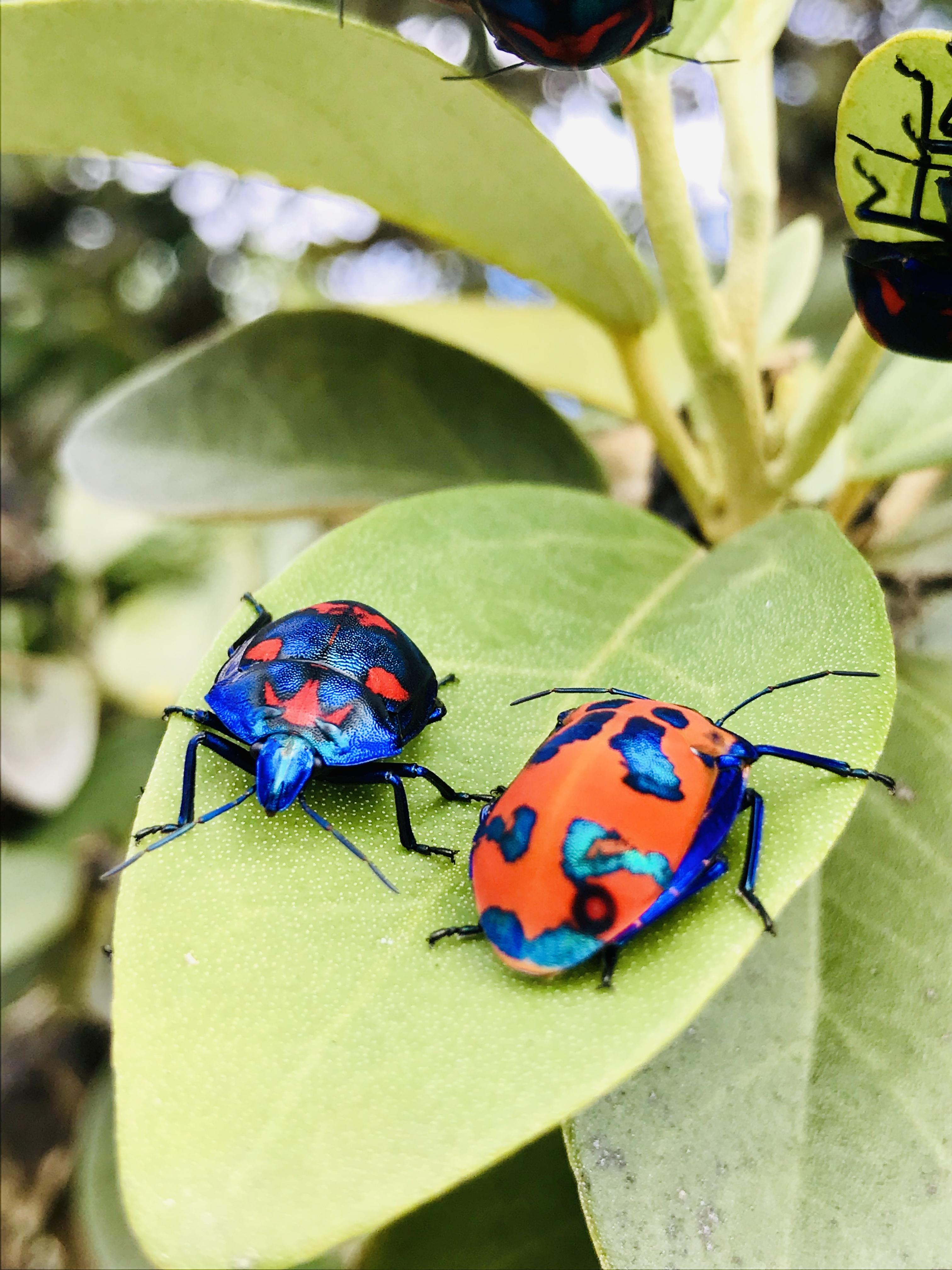 Tango Of The Hemipterans