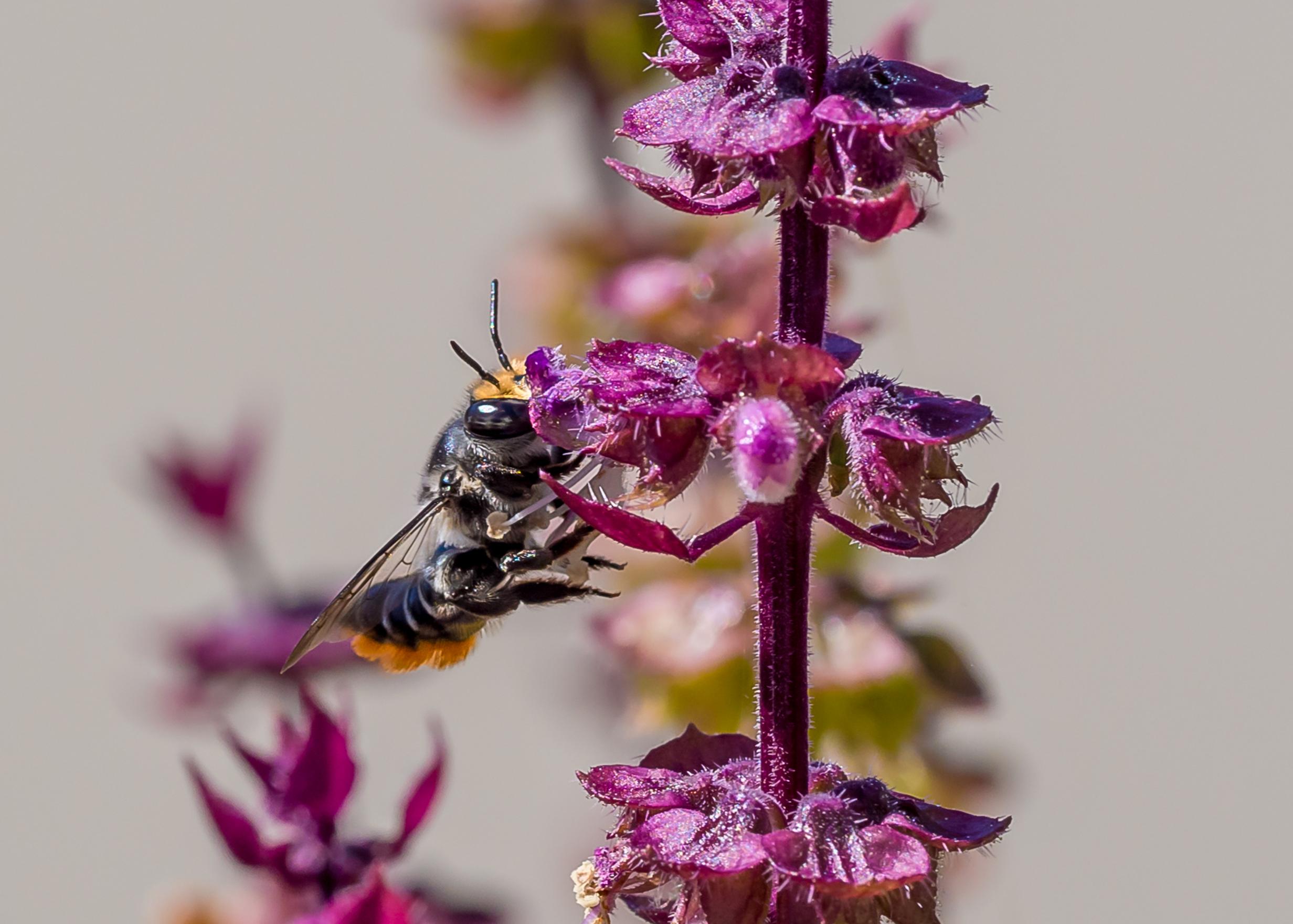 Australian Leaf Cutter Bee