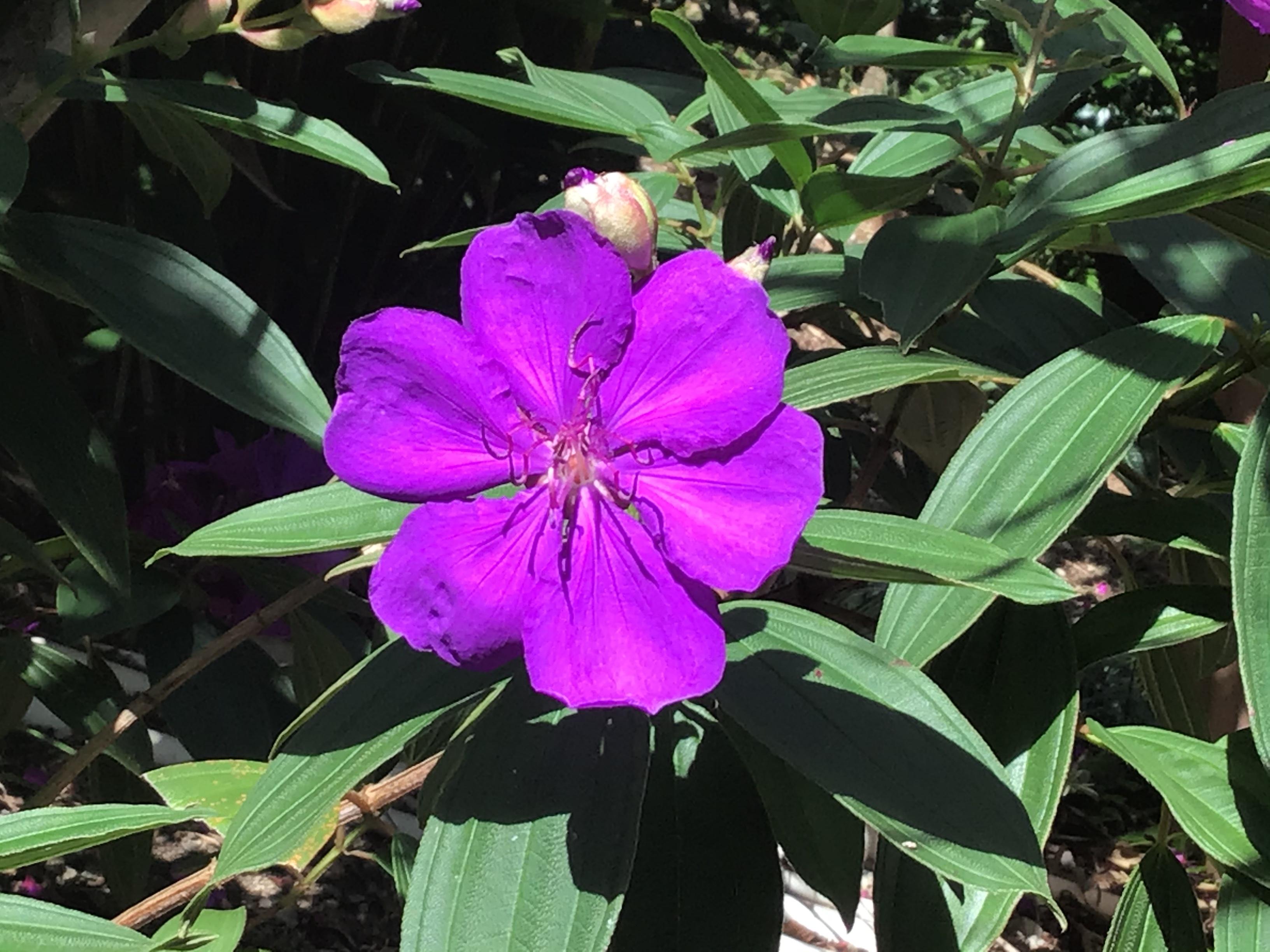Purple Tippi
