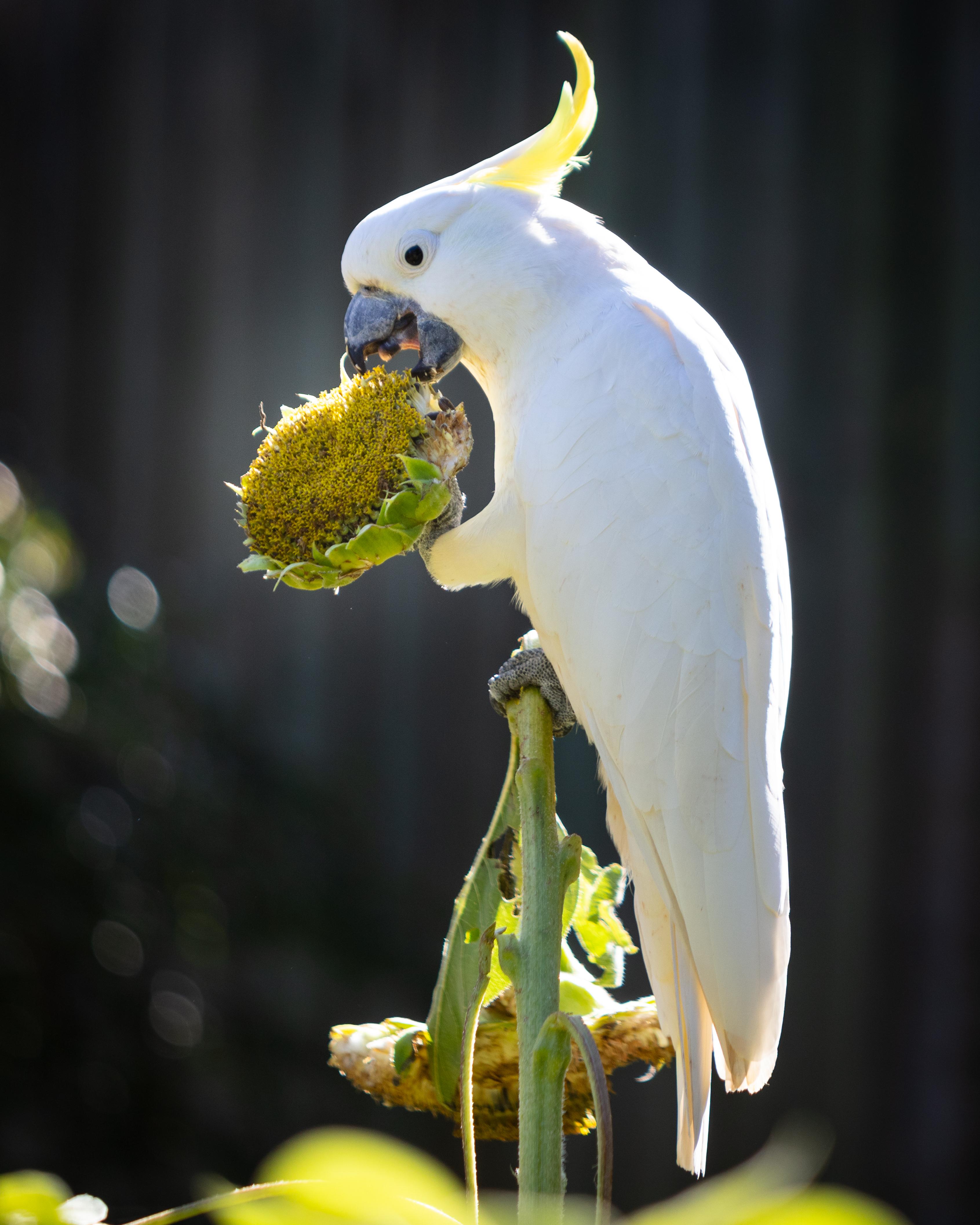 Cockatoo Eating Sunflowers In My Garden.