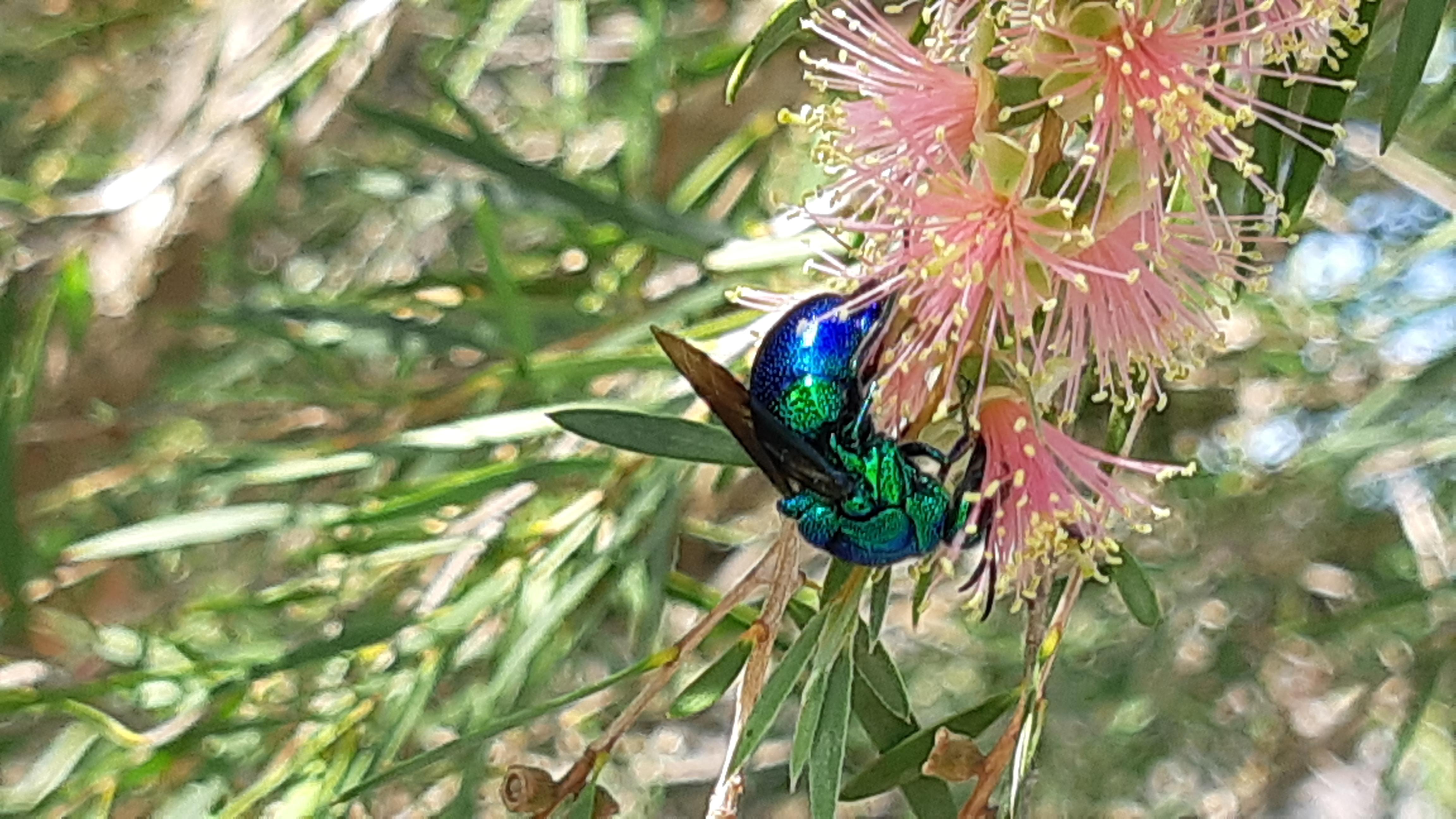 Cuckoo Wasp on Calistamen
