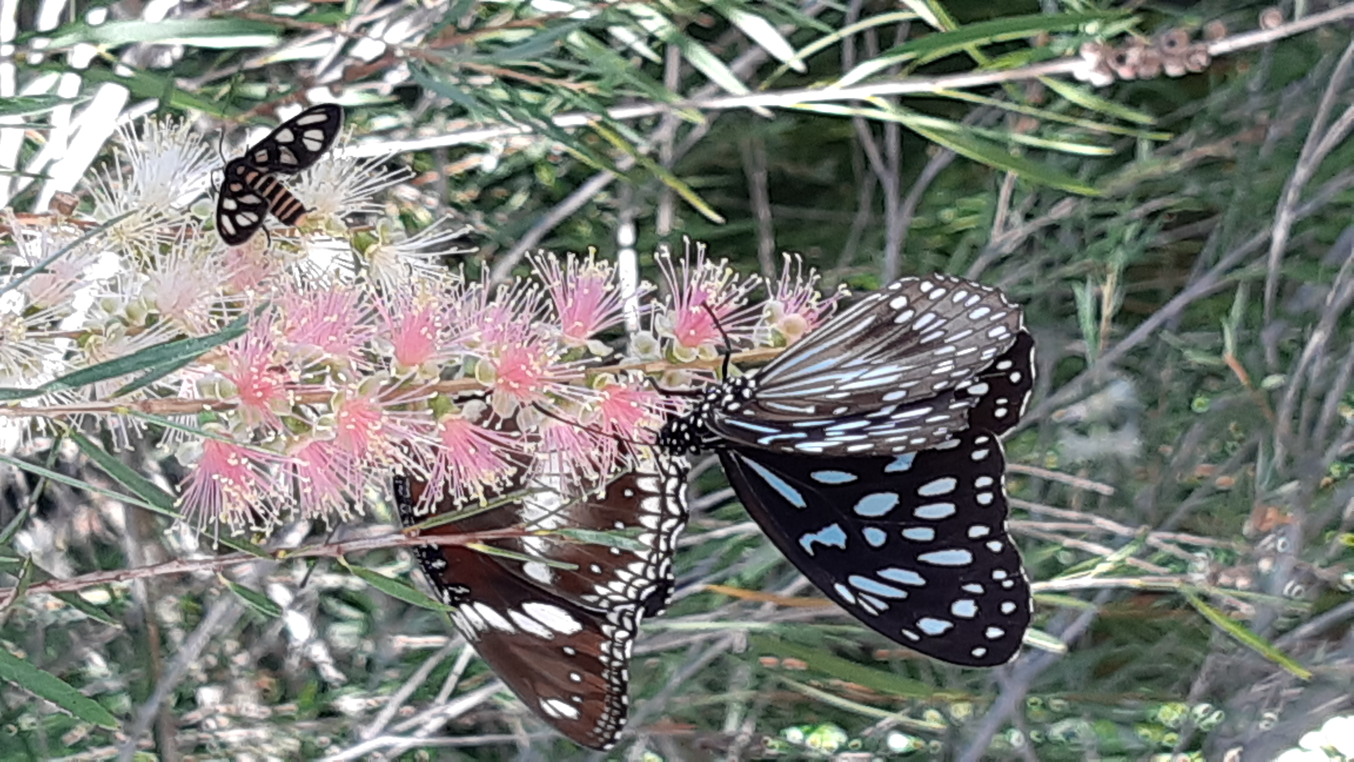 Spotted Crow, Tiger Blue & Wasp Butterfly feeding