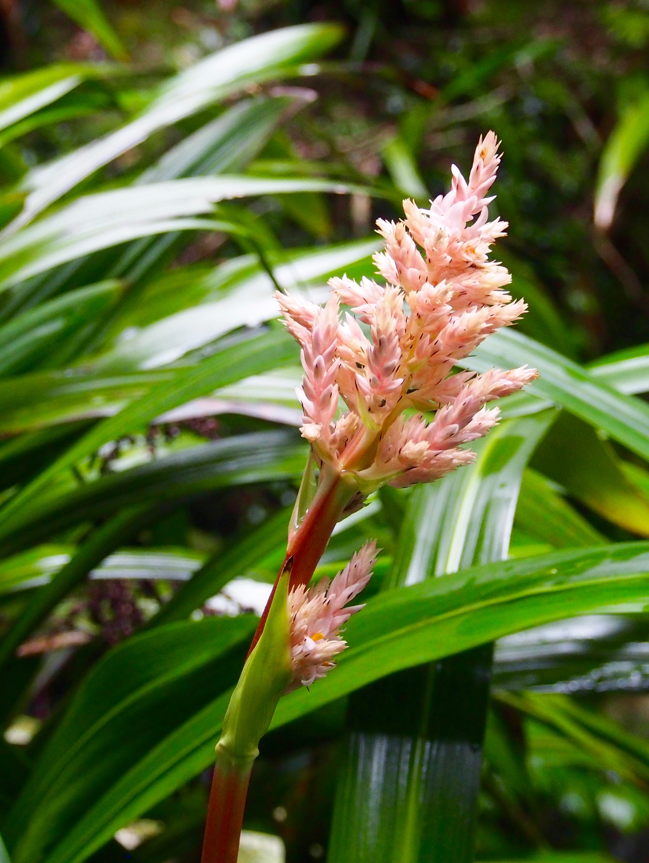 Stream Lily, Lamington National Park