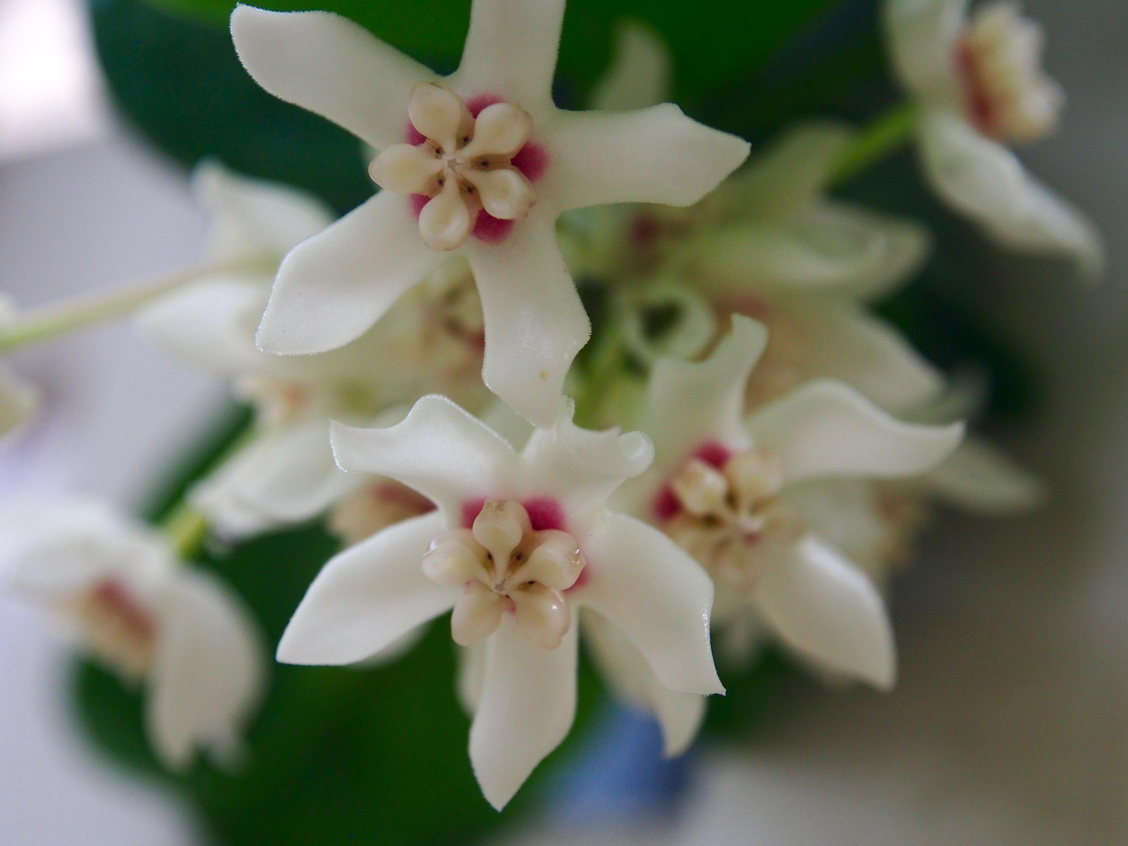 Hoya Australis Flowers