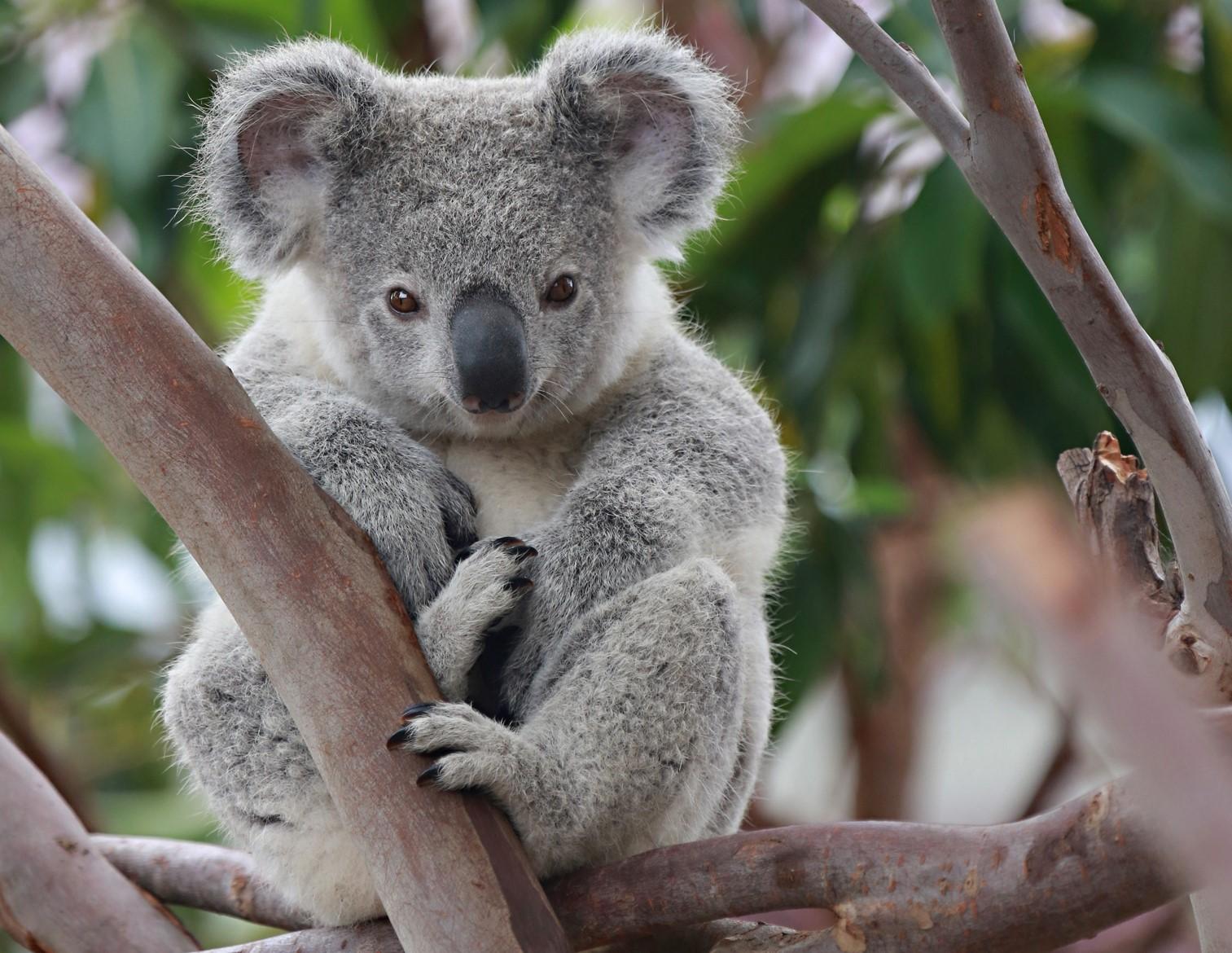 Koala_pic_no_logo.jpg