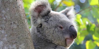 Koala_email_photo.png