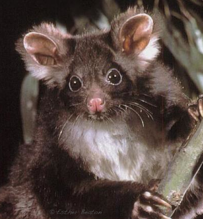 GreaterGlider_Esther_Beaton_JWBBG-2546_credit.jpg