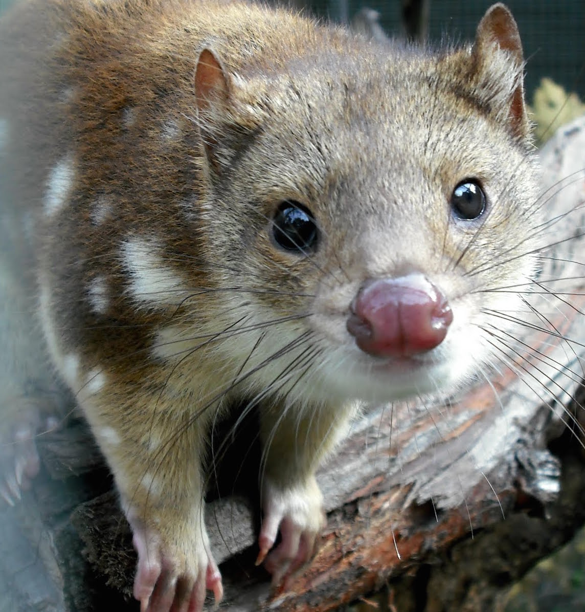 Spotted-Tailed_Quoll_Yilimi_crop.jpg