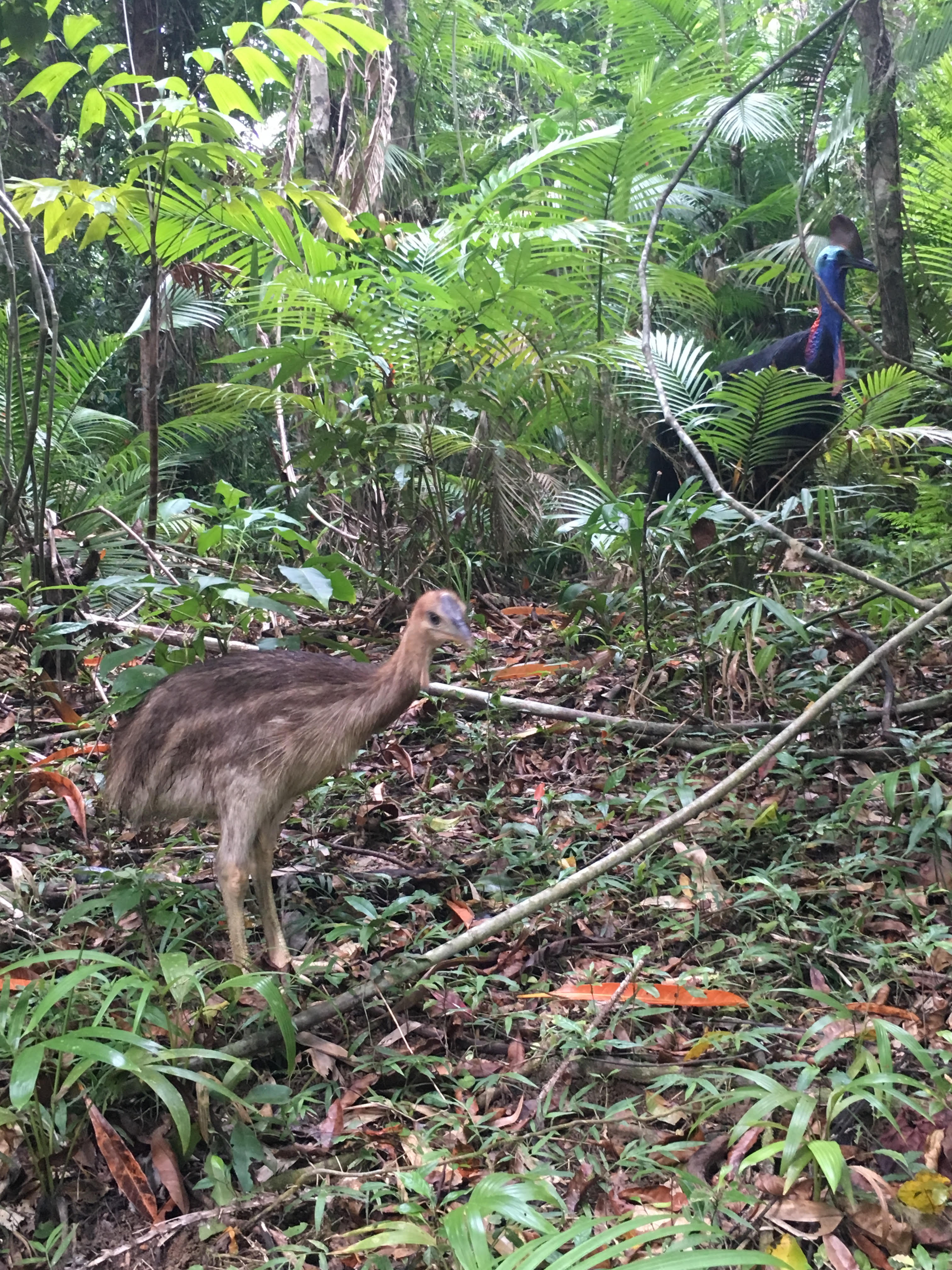 Cassowary and chick in the Daintree Rainforest
