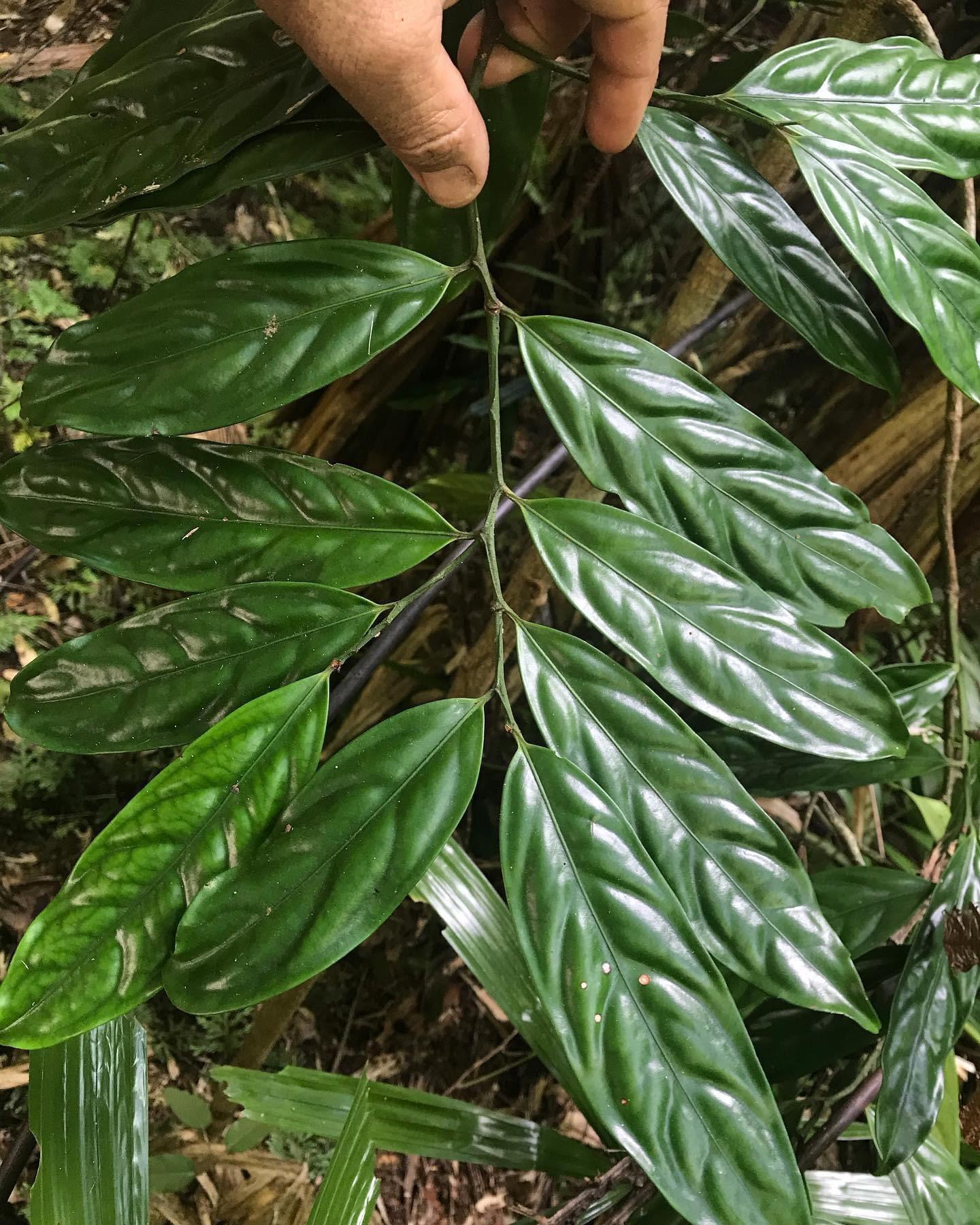 Hypsophila dielsiana (Celastraceae)