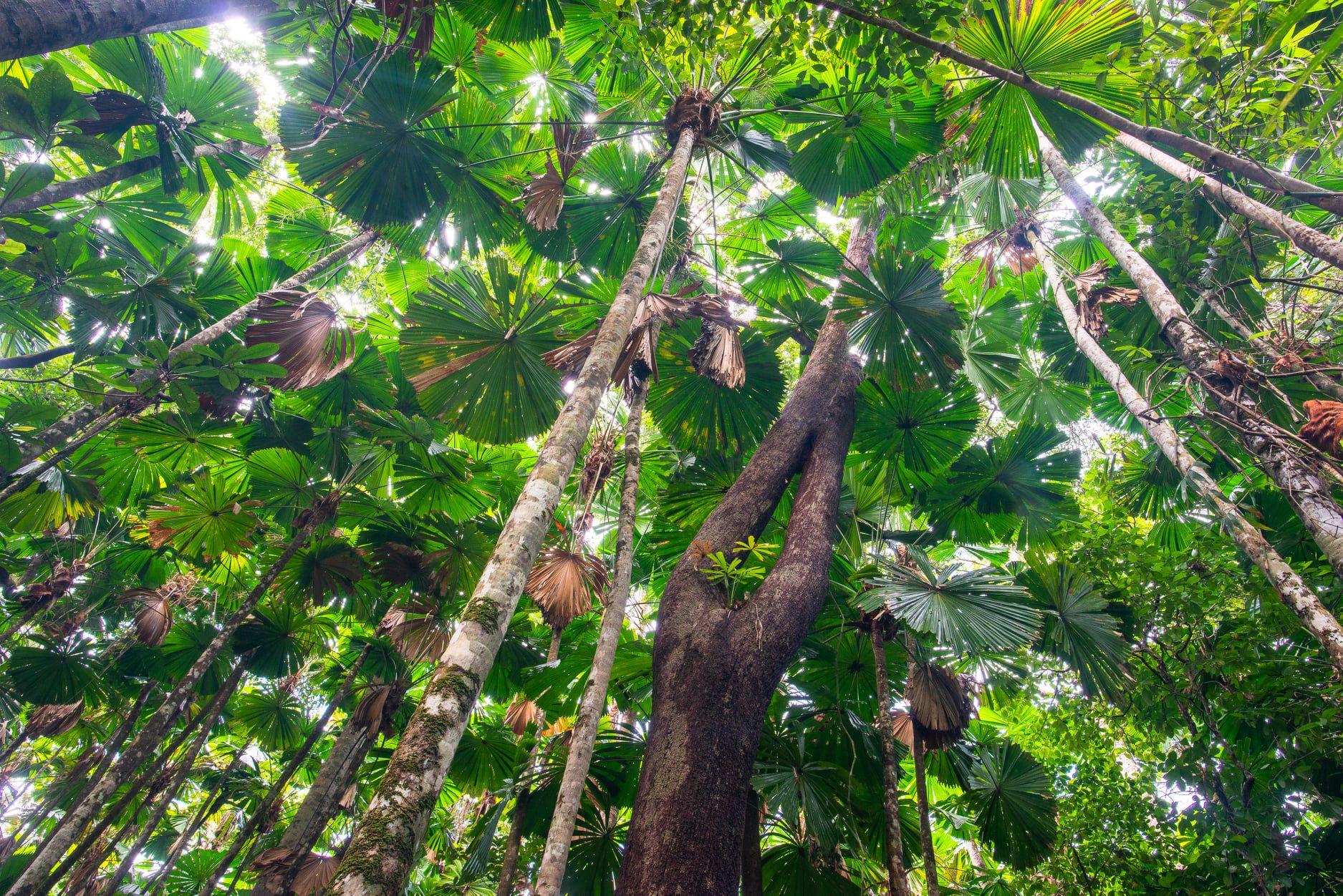 Fan Palm dominated tropical rainforest