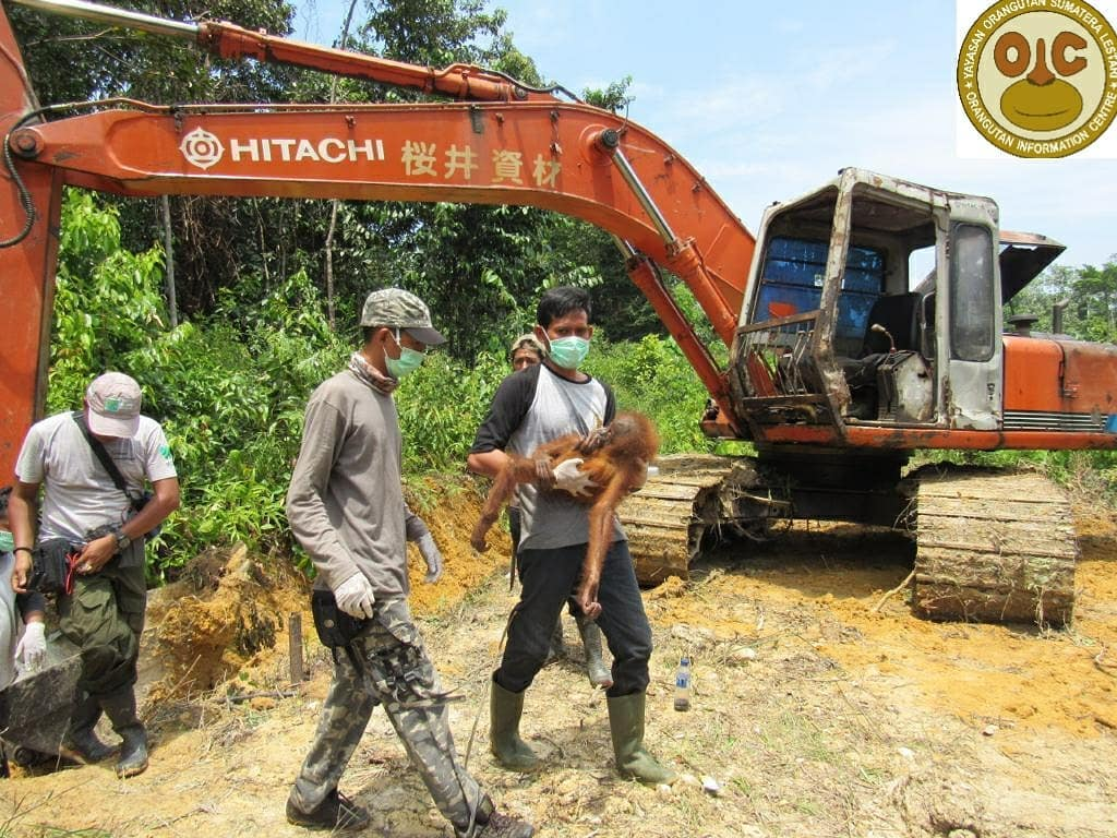 Orangutan rescue and translocation
