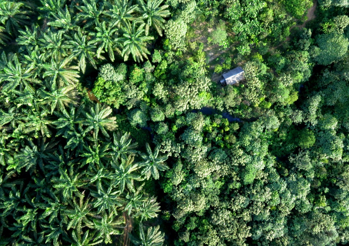 Oil palms and restored rainforest