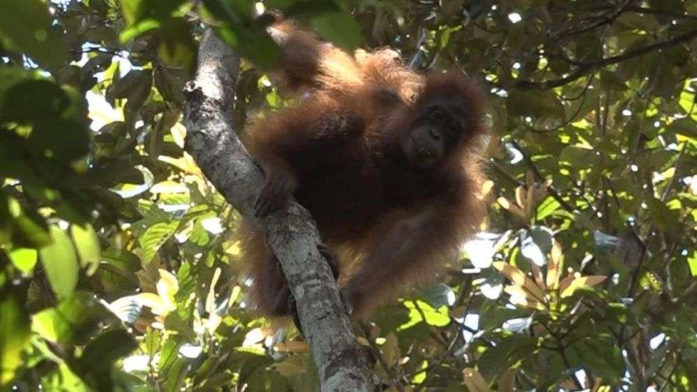 Orangutan in the Dulan Rainforest