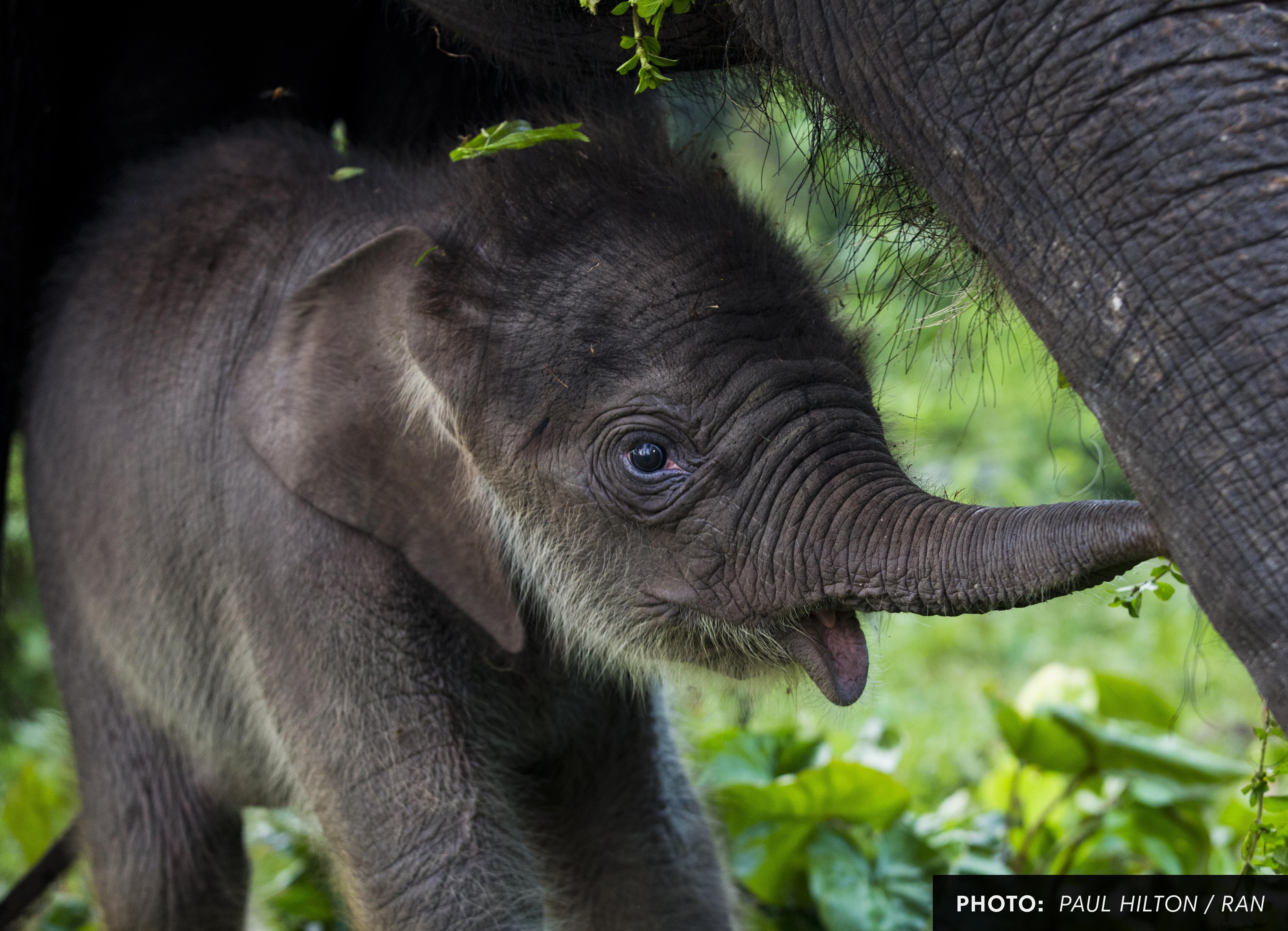 Baby Elephant in Leuser Ecosystem