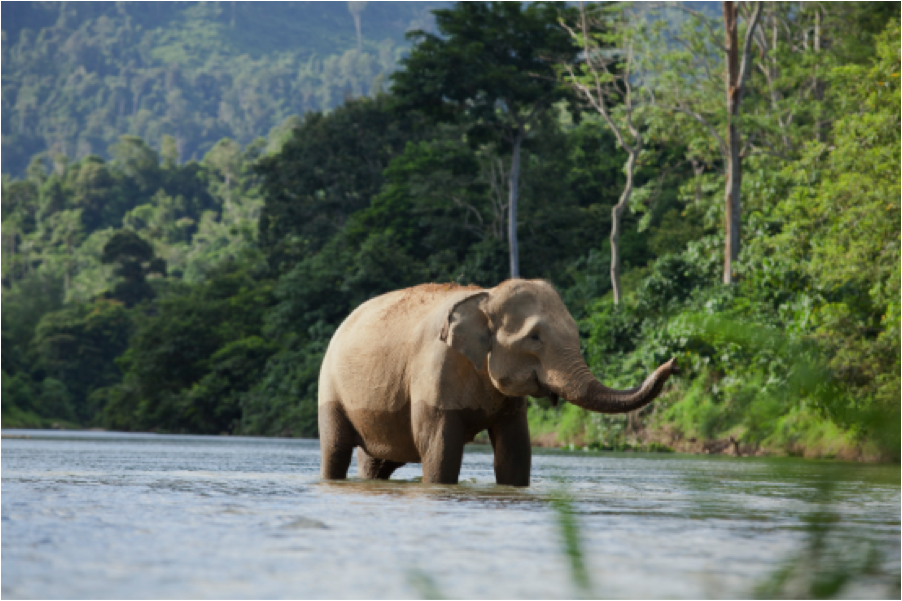 forests_sumatranelephant_902x601.png