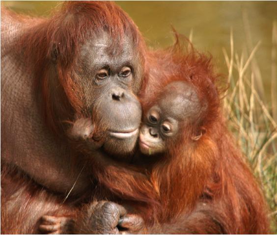 forests_orangutan_564x479.png