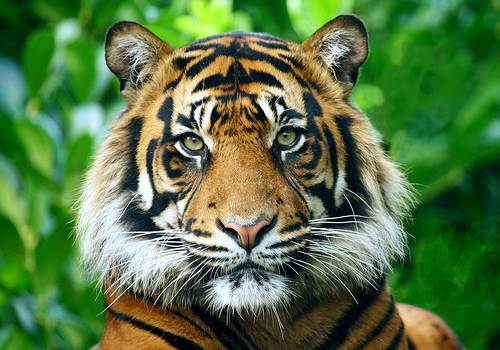 As Indonesia S Forest Disappears Tiger Eats Boy