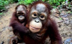 two baby orangutans