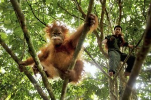 Indonesia Orangutans by LJWorld.com