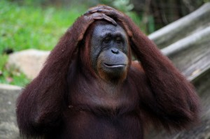 An orangutan at the Singapore Zoo