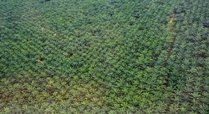 Monoculture palm oil plantation.Photo: Treehugger