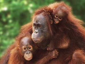 Palm Oil operations are destroying orangutan habitat