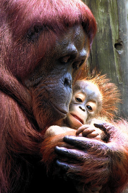 Orang mother and child