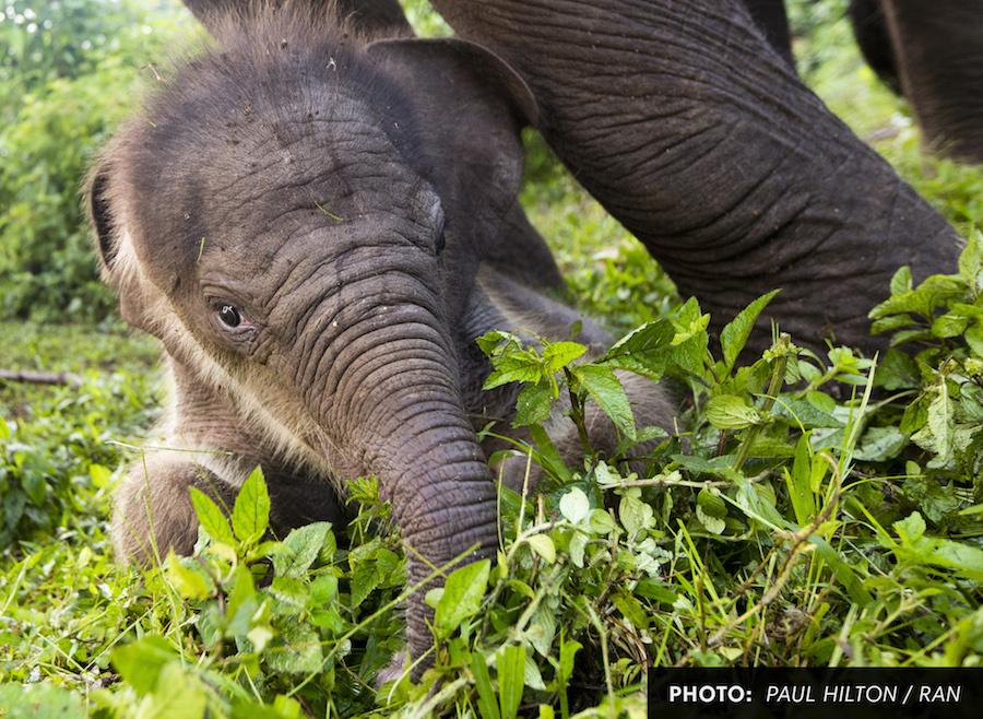 Baby_Elephant_Front.jpg