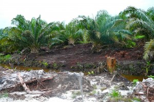 Oil Palm on Peat